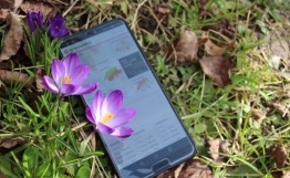 L'application mobile MétéoSuisse encadrée de crocus. Photo : J. Seiwald