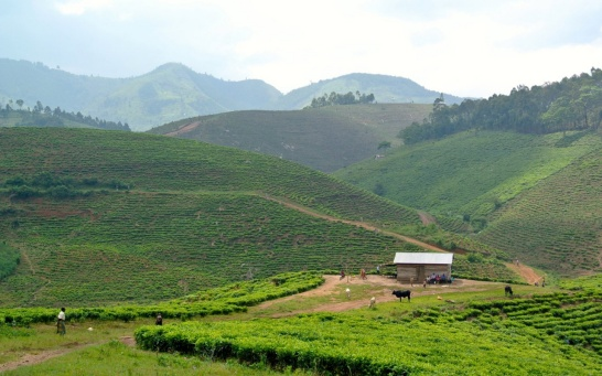 Affichage aggrandi: Tea plantation and landscape in Africa